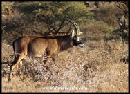 Roan Antelope bull in Mokala National Park