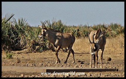 Roan Antelope drinking at Boyela in Kruger Park