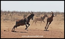 Tsessebe are very athletic