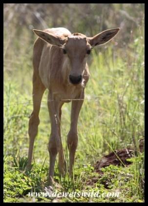 Tsessebe Calf