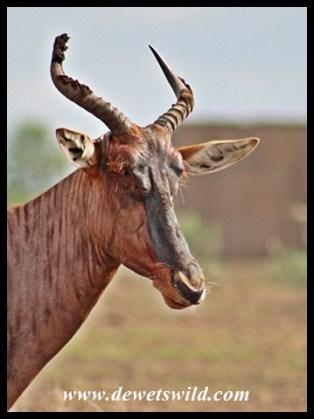 Tsessebe Cow