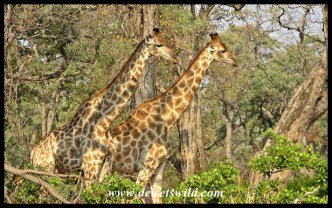 Giraffes in riverine forest