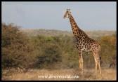 Mature giraffe bull