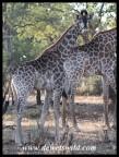 Giraffes along the Mphongolo