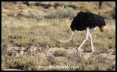 Ostrich male with his chicks