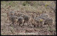 Ostrich chicks