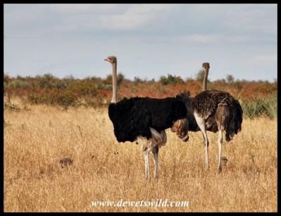 Ostrich couple