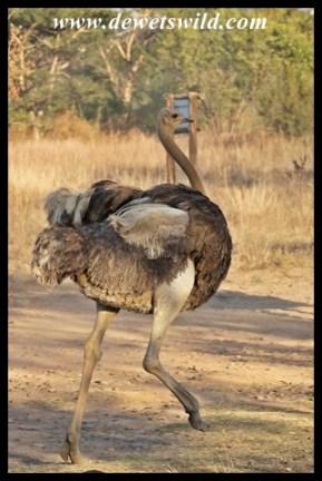 Ostrich female setting off