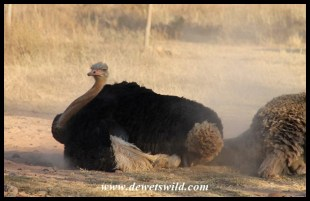 Ostriches love dustbaths