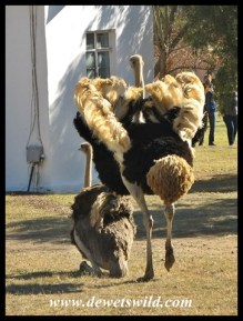 Ostrich mating display