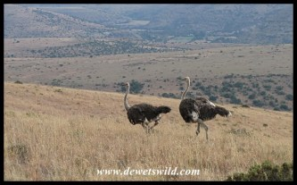 Ostriches in the hills of Mountain Zebra National Park