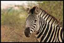 Plains Zebra stallion, sporting battle scars