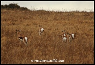 Springbok on the run through wet grass