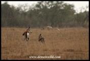 Springbok ewe and lamb