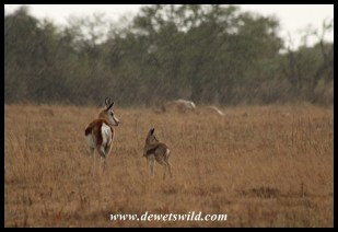 Springbok ewe and lamb