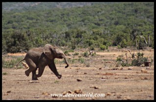 Very thirsty calf running for the water