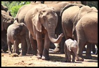 Elephant family at Lismore waterhole