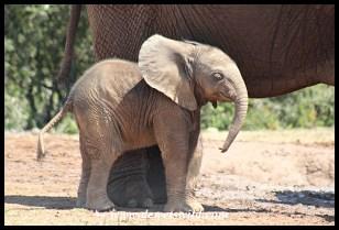 Tiny calf staying close to mom at Spekboom