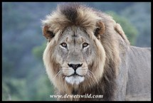 Lion Kings of Addo