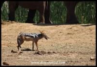 Black-backed jackal