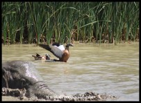 South African Shelduck pair