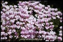 Plumbago in bloom