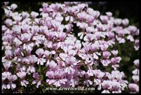 Geraniums in bloom