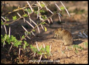 Rodent in its thorny fortress