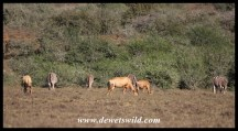 Red Hartebeest and Zebra sharing grazing