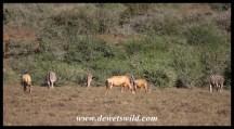 Red Hartebeest and Zebra sharing grazing