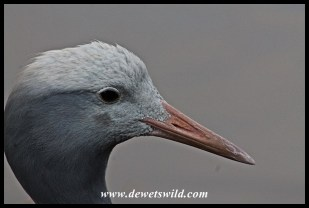 Blue Crane close-up