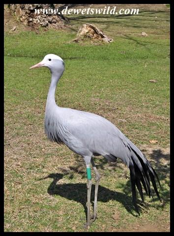 Blue Crane at Austin Roberts Bird Sanctuary