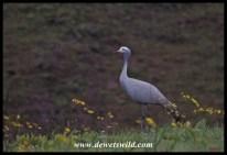 Blue Crane standing tall