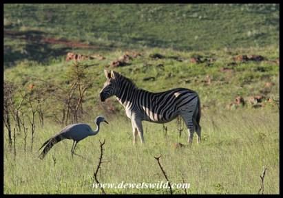 Blue Crane sharing its range with a plains zebra