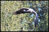 Blue Crane on the wing