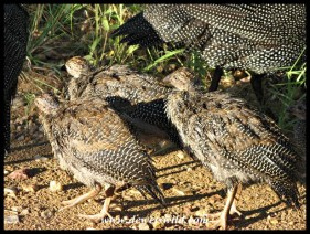 Helmeted Guineafowl chicks