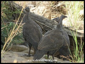 Helmeted Guineafowl juveniles