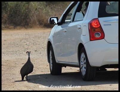 Helmeted Guineafowl quickly learn that humans are a source of food