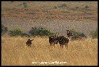 This time we had good views of the magnificent sable antelope for which Kgaswane is so well known