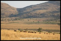 Kgaswane scenery towering above a herd of sable antelope