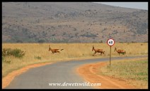 Red Hartebeest on the run, totally ignoring the speed limit!
