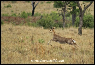 Mountain Reedbuck at full speed