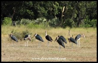 Marabou gathering