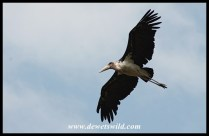 Marabou in flight