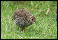 Helmeted Guineafowl chick (photo by Joubert)