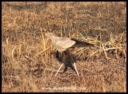 Secretarybird searching for victims of a recent fire