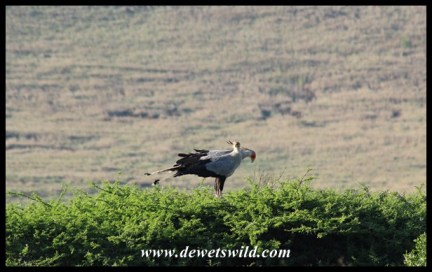 Secretarybirds nest on flat-topped trees