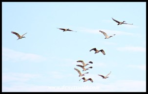 African Sacred Ibis flocks typically fly in V-formation