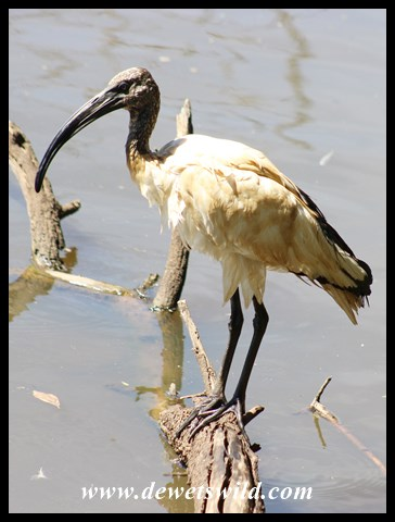 AfricanSacred Ibis