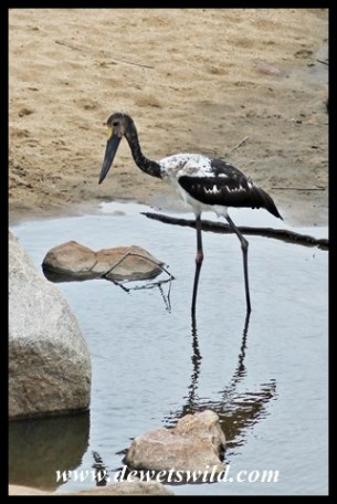 Juvenile Saddle-billed stork